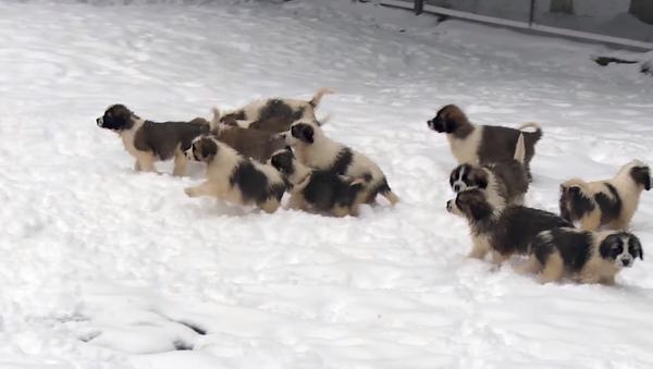 El Ministerio de Defensa de Rusia felicitó a los ciudadanos con motivo de la llegada del año nuevo publicando un vídeo de sus cachorros - Sputnik Mundo
