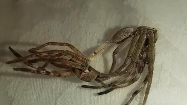 Un alien entre nosotros: el vídeo más escalofriante de arañas que habrás visto jamás - Sputnik Mundo