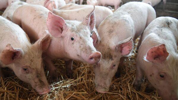 Granja de cerdos en Francia (archivo) - Sputnik Mundo