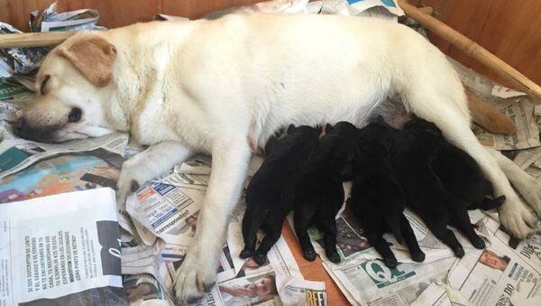 Una camada de perros de Fundappas, una organización que entrena perros guía y de asistencia para usuarios no videntes o autistas - Sputnik Mundo