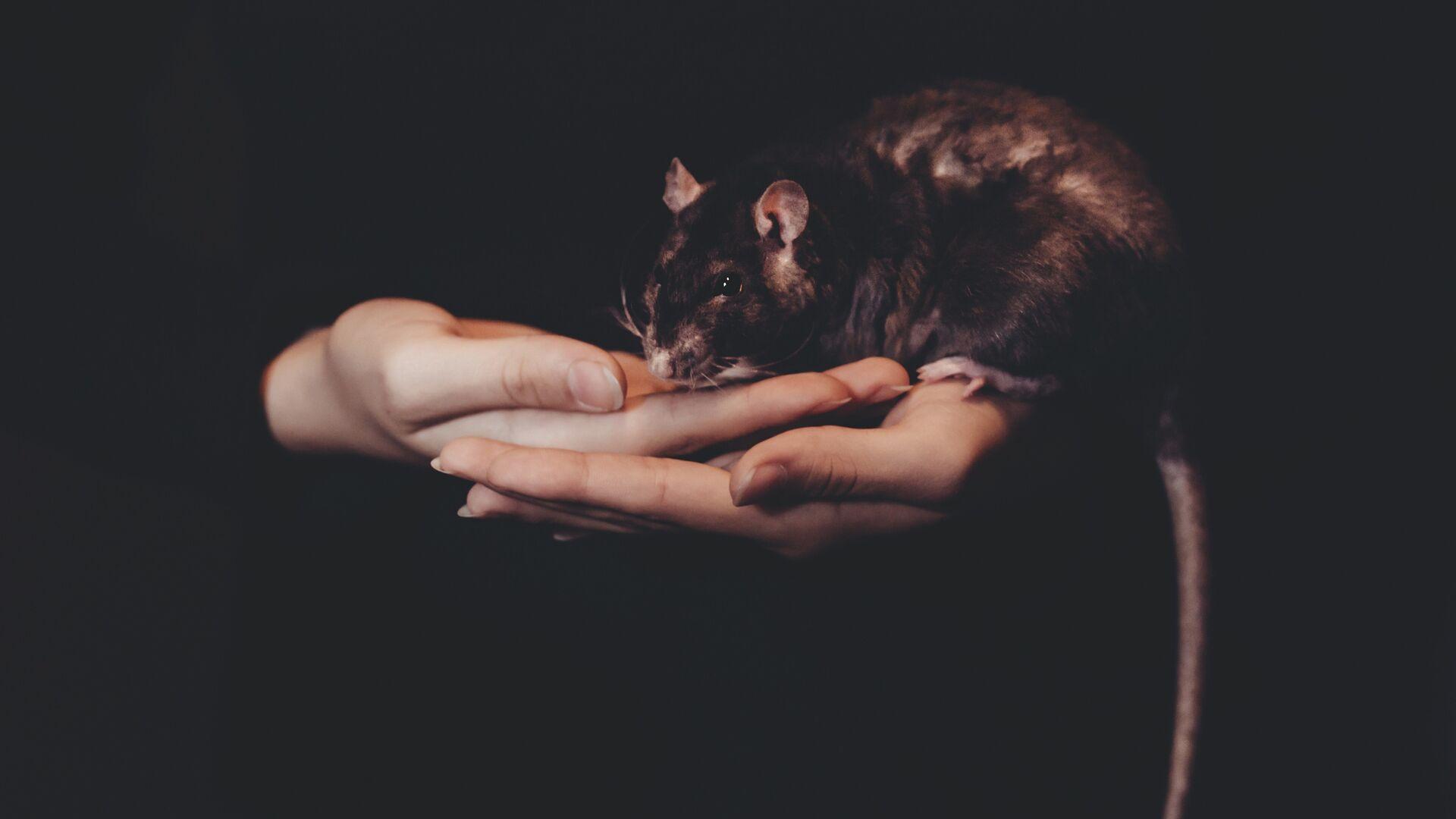 Una rata (imagen referencial) - Sputnik Mundo, 1920, 03.06.2021