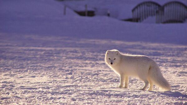 Un zorro polar - Sputnik Mundo