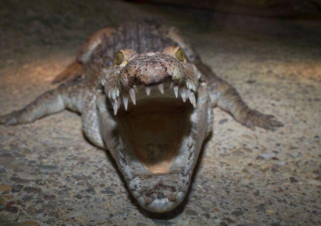 Un cocodrilo filipino (imagen referencial)
