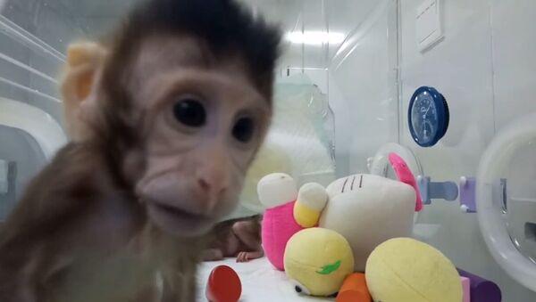 Científicos crean un clon exitoso de un primate - Sputnik Mundo