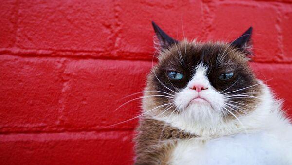 Grumpy Cat, gato celebridad en internet - Sputnik Mundo