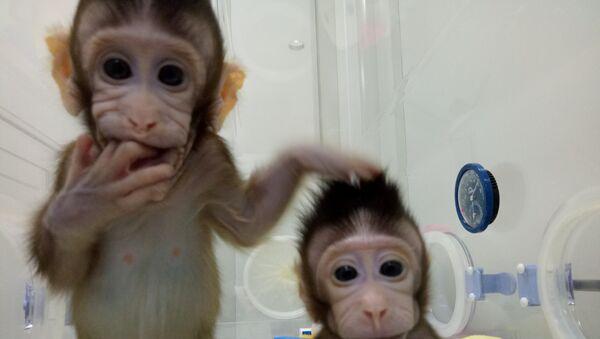 Monos cloneados, Shanghái, China - Sputnik Mundo