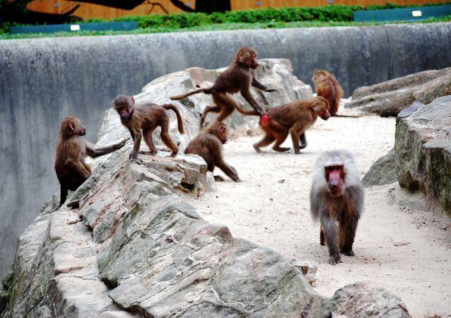 Babuinos en un zoológico (imagen referencial)