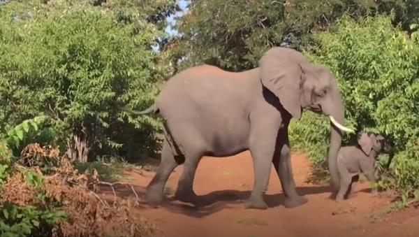 Un elefante toma por asalto un vehículo de turistas en África - Sputnik Mundo
