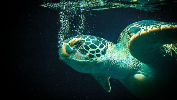 Una tortuga marina - Sputnik Mundo