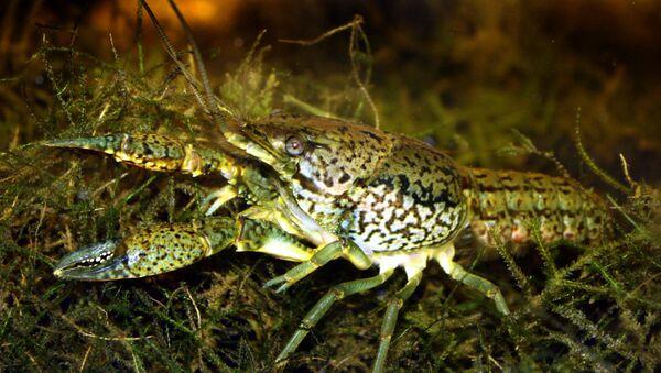 Procambarus fallax forma virginalis, la especie mutante de cangrejo de agua dulce que se expande por el mundo - Sputnik Mundo
