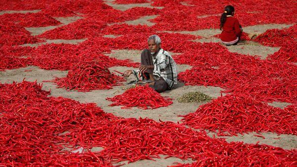 Un granjero de la India limpia guindillas —chile— a las afueras de Ahmedabad. - Sputnik Mundo