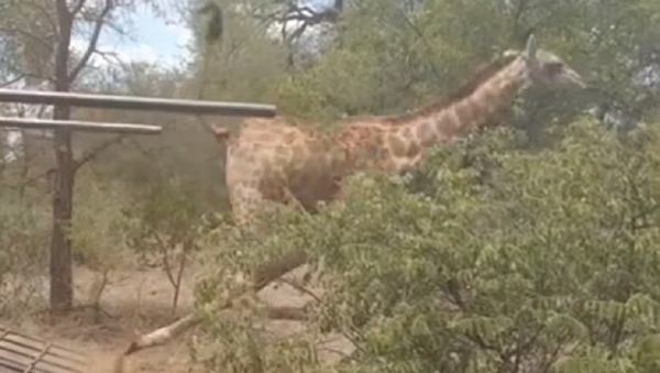 La libertad te embriaga: una jirafa torpe se cae al bajar de una furgoneta - Sputnik Mundo
