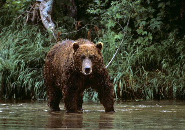 Un oso del Lejano Oriente de Rusia (imagen referencial)