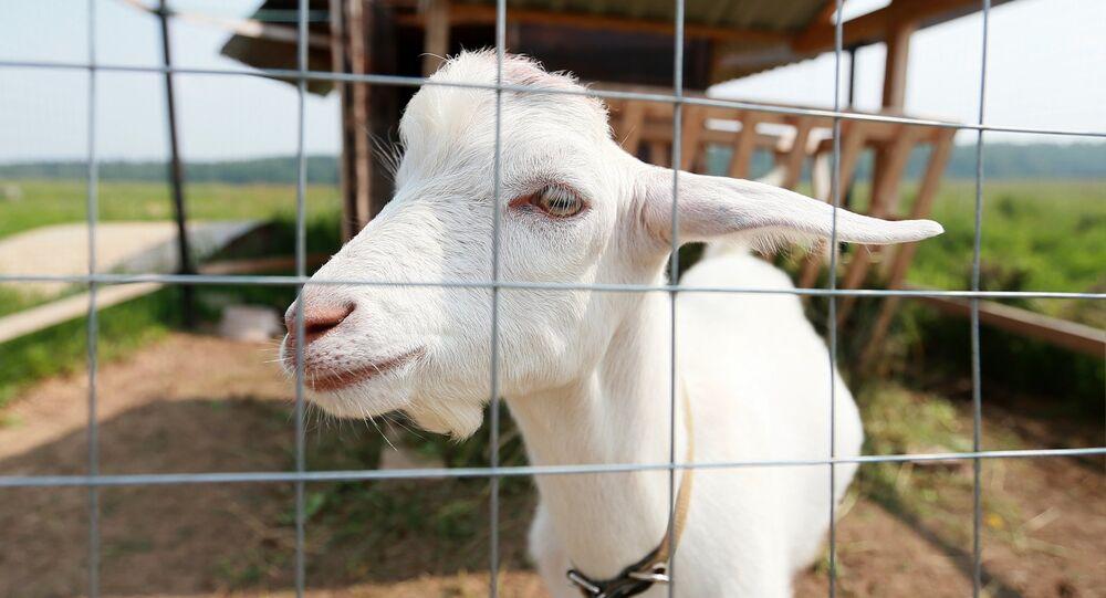 Una cabra (imagen referencial)