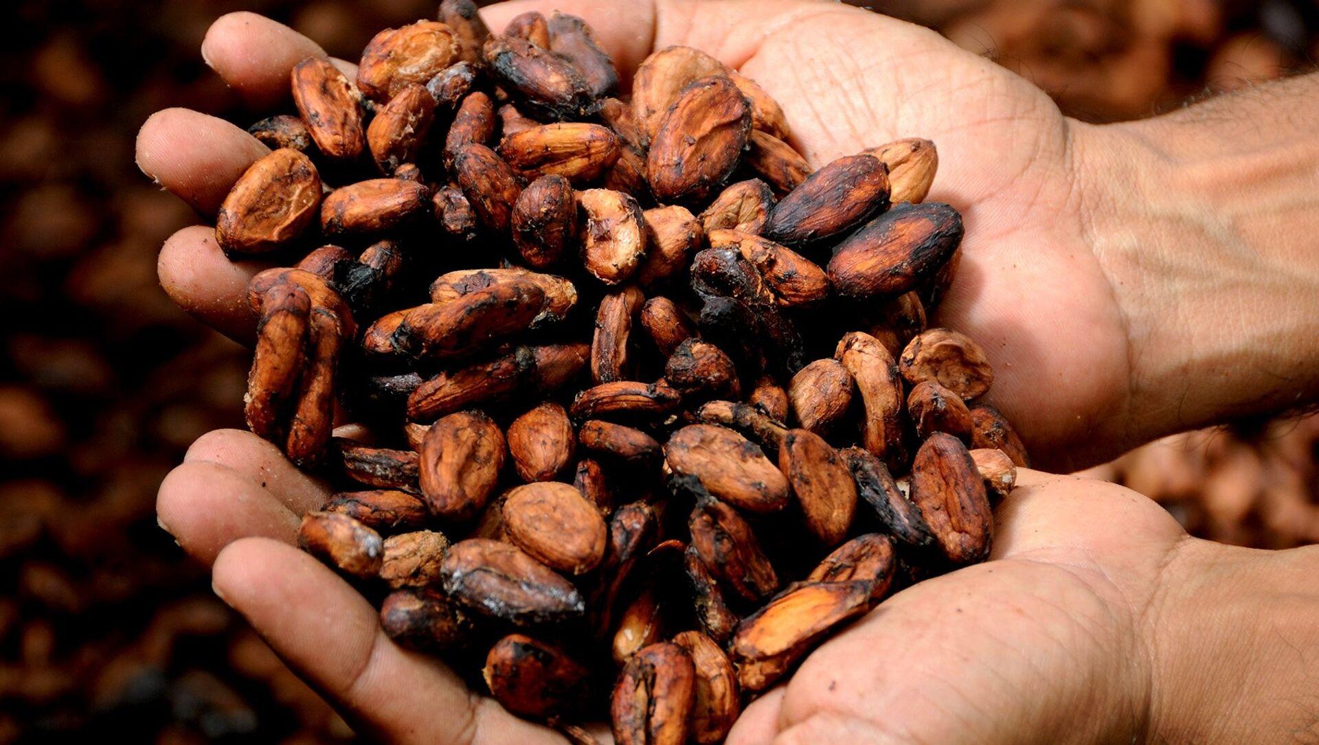 Grano de cacao - Sputnik Mundo, 1920, 03.12.2020