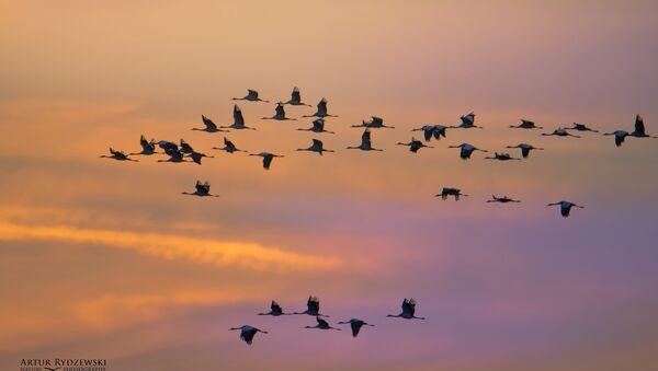 Migración de las aves (imagen referencial) - Sputnik Mundo