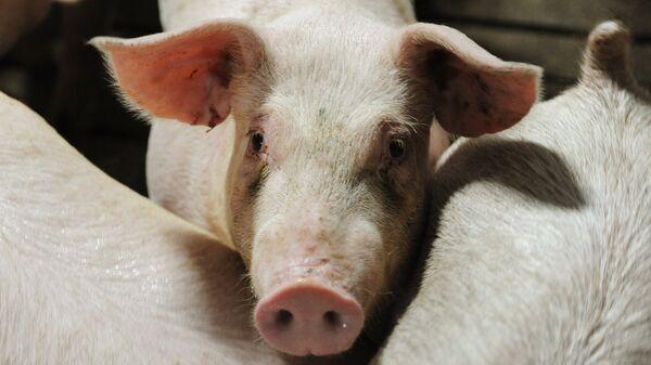 Los cerdos - Sputnik Mundo