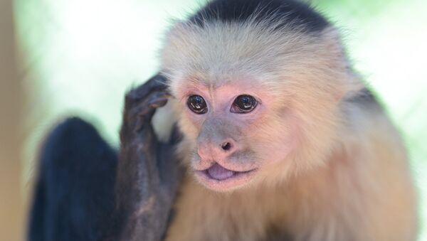 El mono capuchino (archivo) - Sputnik Mundo