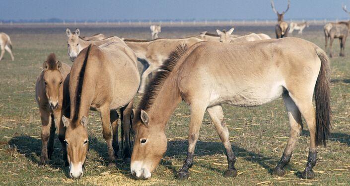 El caballo de Przewalski