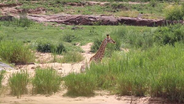 Batalla entre jirafa y cocodrilo con final inesperado - Sputnik Mundo