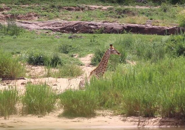 Batalla entre jirafa y cocodrilo con final inesperado