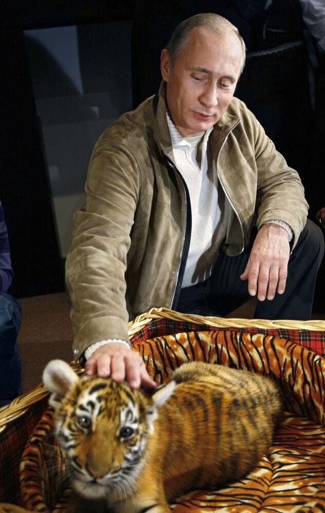 El primer ministro de Rusia (en 2008), Vladímir Putin, presentó a los periodistas a un cachorro de tigre que le regalaron por su cumpleaños. Se trataba de una hembra de tigre de Amur de 2,5 meses de edad