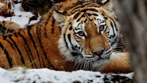 Peligro de extinción: los majestuosos integrantes del Libro Rojo de Rusia - Sputnik Mundo