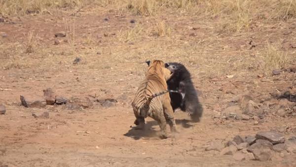 La lucha a vida o muerte entre un tigre y una osa - Sputnik Mundo