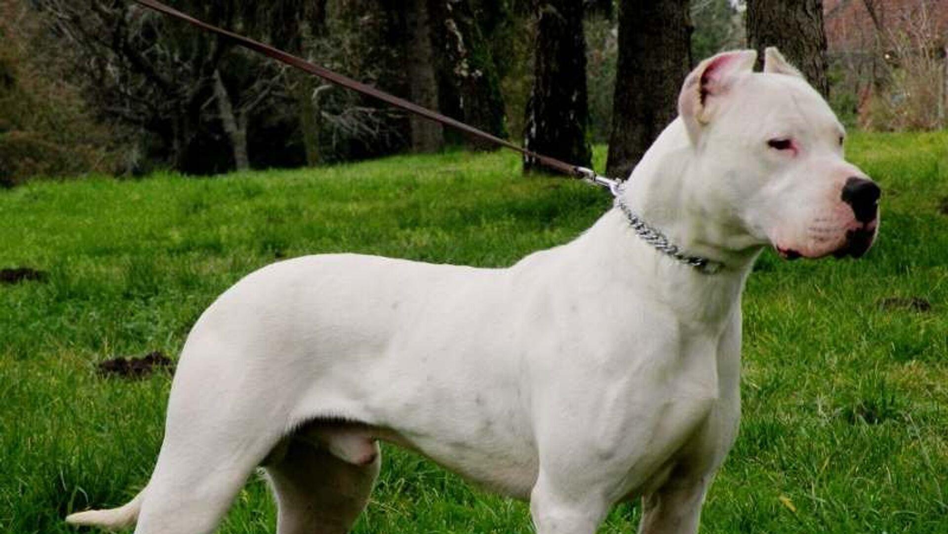 Dogo argentino perro - Sputnik Mundo, 1920, 18.06.2021