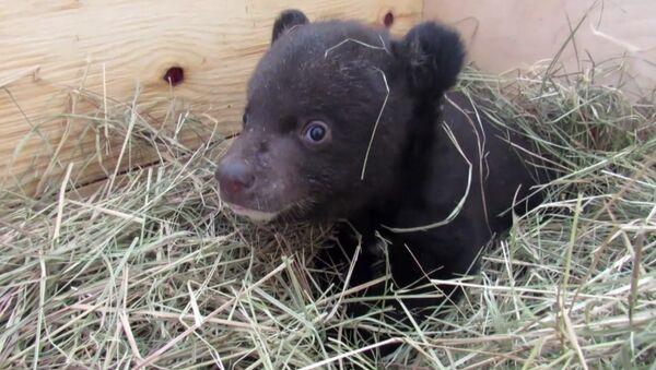 Veterinarios rusos cuidan a un pequeño oso del Himalaya - Sputnik Mundo