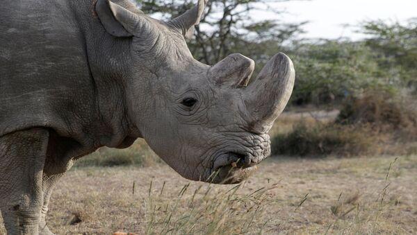 Sudán, el último ejemplar del sexo masculino de rinoceronte blanco del norte - Sputnik Mundo