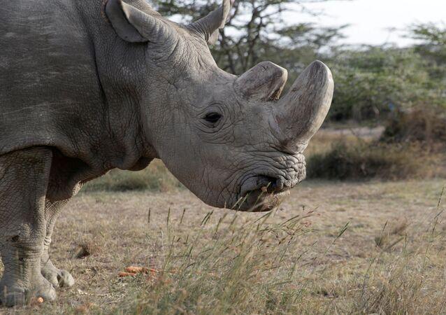 Sudán, el último ejemplar del sexo masculino de rinoceronte blanco del norte