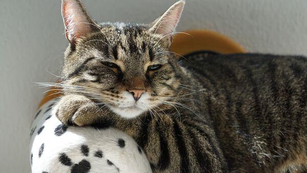 Un gato con sueño - Sputnik Mundo