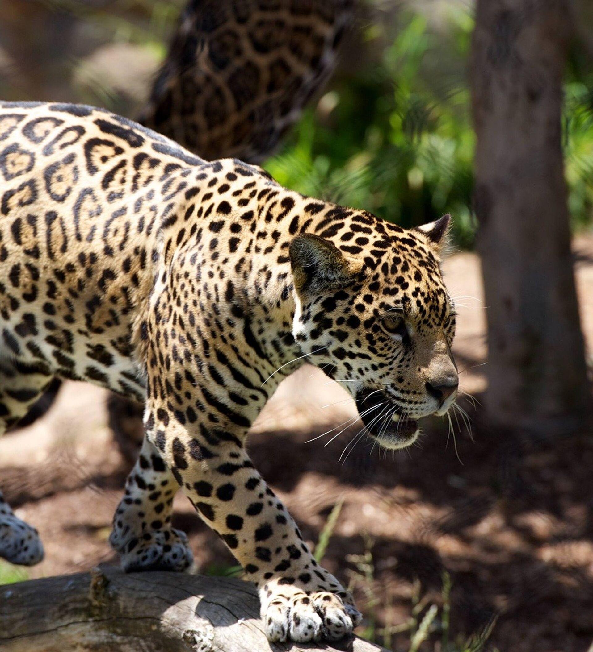 Una Madre Leopardo Del Amur Da A Sus Crías Una Clase De Supervivencia Vídeo 24 09 2018 Sputnik Mundo