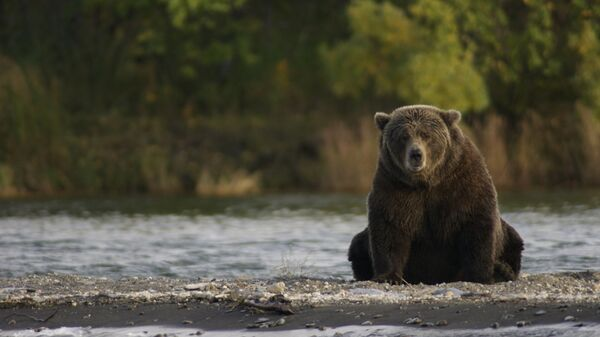 Un oso pardo (imagen referencial) - Sputnik Mundo