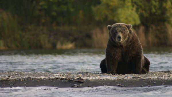 Un oso pardo, imagen referencial - Sputnik Mundo