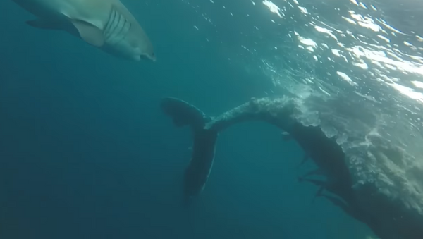 Unos tiburones devoran a una ballena de más de ocho metros - Sputnik Mundo