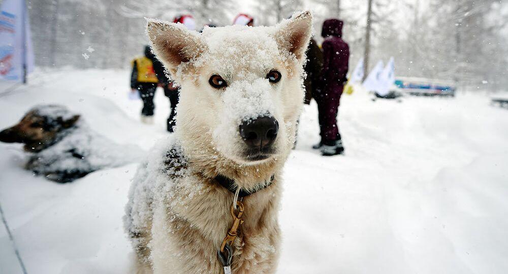 Un perro participante en la carrera 'Beringia'