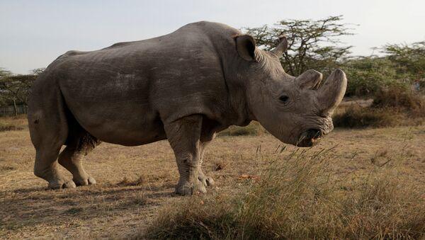 Sudán, el último ejemplar macho de rinoceronte blanco del norte (archivo) - Sputnik Mundo