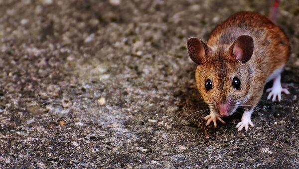 Un ratón, imagen referencial - Sputnik Mundo
