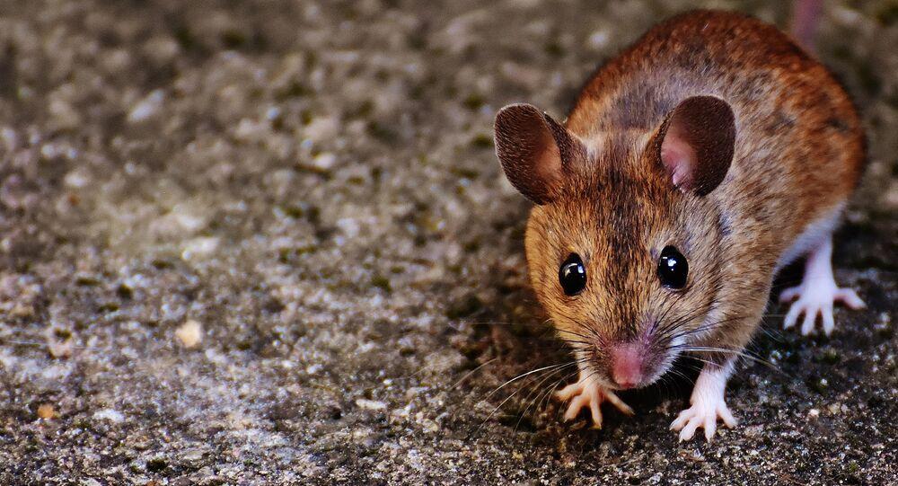 Un ratón (imagen referencial)
