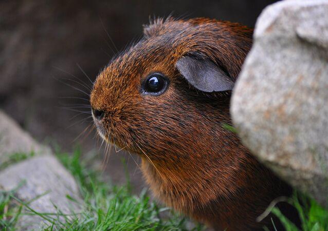 Un conejillo de Indias (imagen referencial)