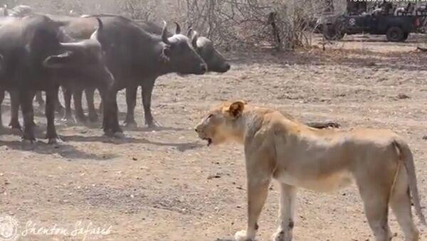 Una manada de leones salva su orgullo ante centenares de búfalos - Sputnik Mundo