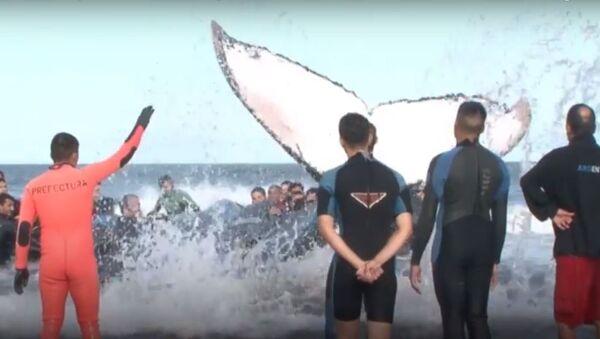 Logran rescatar a una ballena varada en Argentina - Sputnik Mundo