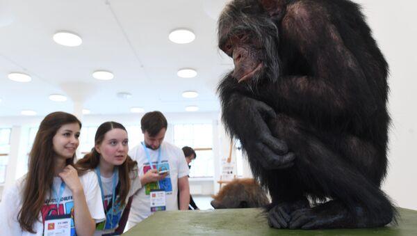 La reconstrucción de la especie 'Homo naledi', mostrada en la exposición 'El día del eslabón perdido: Homo naledi' - Sputnik Mundo