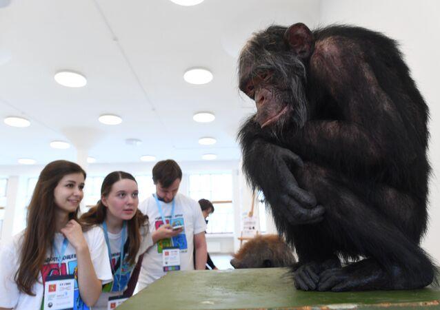 La reconstrucción de la especie 'Homo naledi', mostrada en la exposición 'El día del eslabón perdido: Homo naledi'