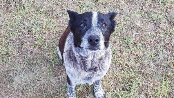 Un perro australiano recibe honores policiales tras una conmovedora hazaña - Sputnik Mundo