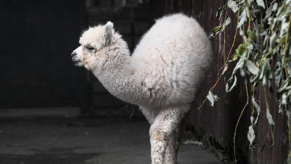 Una alpaca en el zoológico de Moscú - Sputnik Mundo