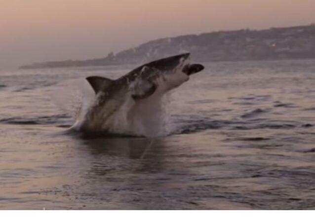 Un tiburón enorme salta del agua