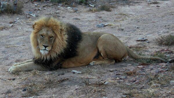 Un león (imagen ilustrativa) - Sputnik Mundo